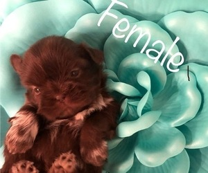 Shih Tzu Puppy for Sale in SAN JOSE, California USA