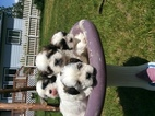 Shiranian Puppy For Sale in FORD, WA, USA