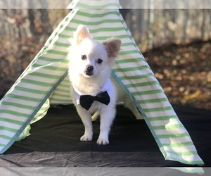 Pomeranian Puppy for Sale in CRANSTON, Rhode Island USA