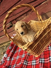 Goldendoodle Puppy For Sale in BELLEVILLE, PA, USA