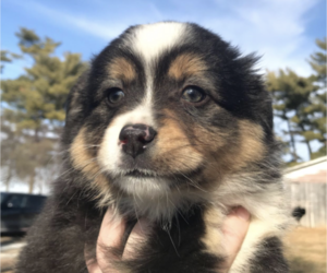 Miniature Australian Shepherd Puppy for Sale in UNION, Nebraska USA