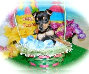 American Rat Pinscher Puppy for Sale in HAMMOND, Indiana USA