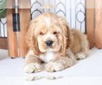 Weston Handsome Little Male AKC Cocker Spaniel Pup