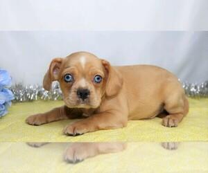 Cavalier King Charles Spaniel-French Bulldog Mix Dog for Adoption in FREDERICKSBG, Ohio USA