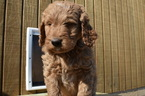 F1b Goldendoodle Puppy