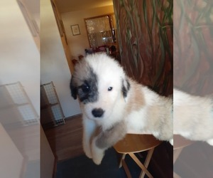 German Shepherd Dog-Old English Sheepdog Mix Puppy for Sale in WICHITA, Kansas USA