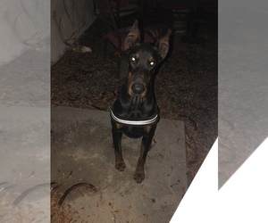 Doberman Pinscher Puppy for sale in COLLEGE HEIGHTS DURANGO, CO, USA