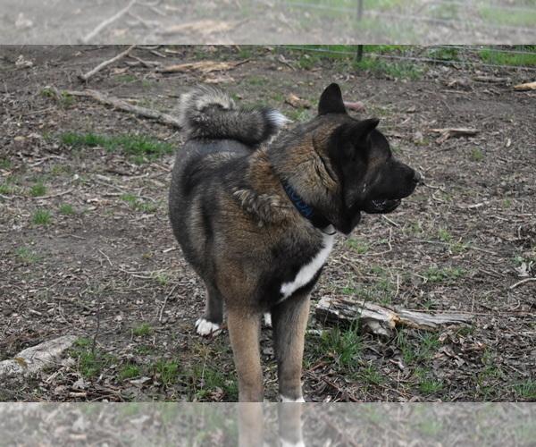 Medium Photo #6 Akita Puppy For Sale in LICKING, MO, USA