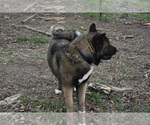 Small Photo #6 Akita Puppy For Sale in LICKING, MO, USA
