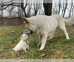Small #60 German Shepherd Dog