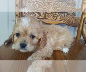 Cavapoo Puppy for sale in ADRIAN, MI, USA