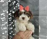 Puppy 7 Morkie