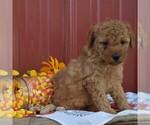 Small #2 Poodle (Miniature)