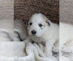 Small #69 Great Pyrenees