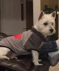 West Highland White Terrier Puppy For Sale in LITTLE ROCK, AR