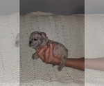 Small Photo #6 French Bulldog Puppy For Sale in N LAS VEGAS, NV, USA