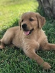 Golden Retriever Puppy For Sale in MYRTLE BEACH, SC, USA