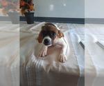 Puppy 4 Cavalier King Charles Spaniel-Rat Terrier Mix
