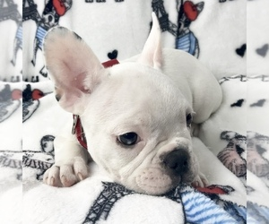 French Bulldog Puppy for sale in COAL CREEK, WA, USA