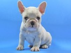 French Bulldog Puppy For Sale in DALLAS, TX