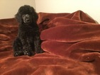 Poodle (Standard) Puppy For Sale in FREDERICKSBURG, VA, USA