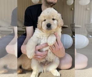 Golden Retriever Puppy for sale in ASHLAND, MA, USA