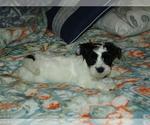 Puppy 1 Morkie