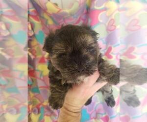 Morkie Puppy for Sale in KENDALL, Wisconsin USA