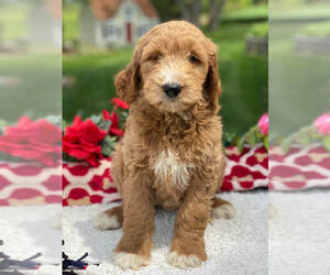 Goldendoodle Puppy for Sale in GAP, Pennsylvania USA