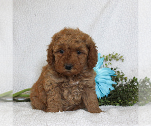 Goldendoodle-Poodle (Miniature) Mix Dog for Adoption in GAP, Pennsylvania USA
