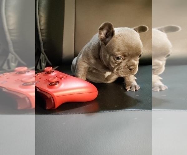 Medium Photo #18 French Bulldog Puppy For Sale in GRAHAM, WA, USA