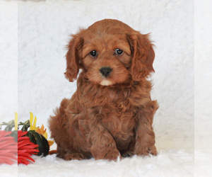 Cavapoo Puppy for sale in BANK OF AMERICA, MO, USA