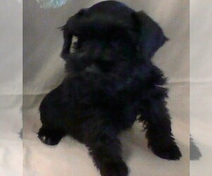 Schnauzer (Miniature) Puppy for sale in COLONIAL HEIGHTS, TN, USA