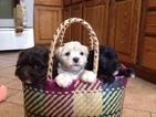 BichPoo Puppy Cutie Pie 2