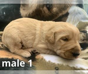 Labradoodle Dog for Adoption in DIALVILLE, Texas USA
