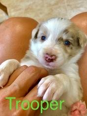 Border Collie Puppy For Sale in RICHMOND, VA, USA