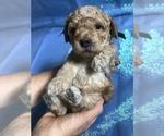 Puppy 1 Cock-A-Poo