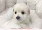 Maltipoo Puppy For Sale near 90638, La Mirada, CA, USA