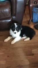 Australian Shepherd Puppy For Sale in GREENFIELD, MA