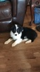 Australian Shepherd Puppy For Sale in GREENFIELD, MA