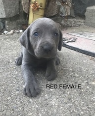 Weimaraner Puppy For Sale in FALMOUTH, MI, USA
