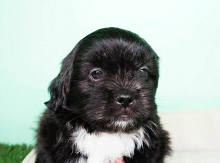 Shih Tzu Puppy for sale in FULLERTON, CA, USA