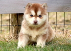 Pomsky Puppy For Sale in MOUNT JOY, PA, USA
