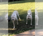 Dogo Argentino Puppy For Sale in SAN ANTONIO, TX, USA