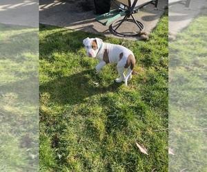 Bullypit Dog for Adoption in LACEY, Washington USA