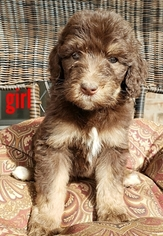 Bernedoodle Puppy for sale in AZLE, TX, USA