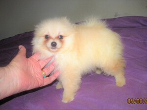 Pomeranian Puppy For Sale in SKIATOOK, OK