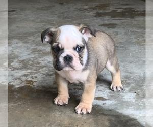 English Bulldog Puppy for Sale in DECATUR, Georgia USA