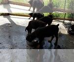 Small #50 Rottweiler