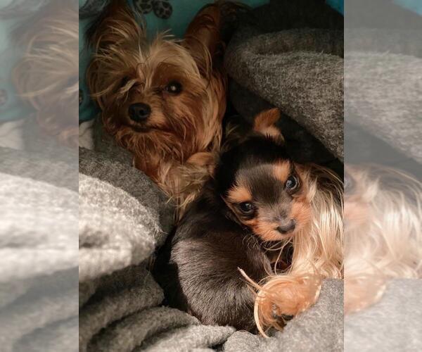 Medium Photo #3 Yorkshire Terrier Puppy For Sale in KLEIN, TX, USA